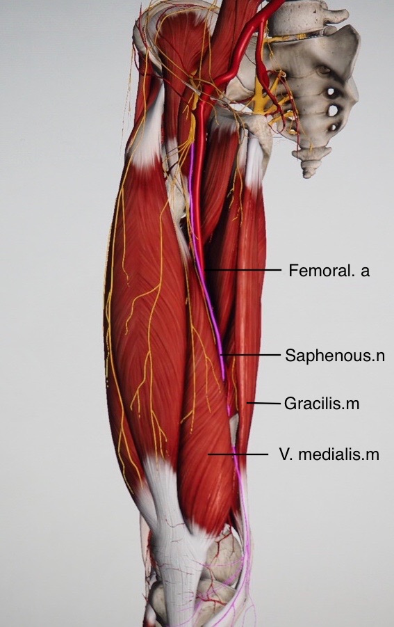 View of thigh with sartorial muscle removed